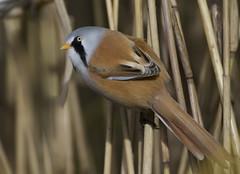 Bearded Reedling (Tit) (J J McHale) Tags: panurusbiarmicus beardedtit beardedreedling bird scotland nature wildlife