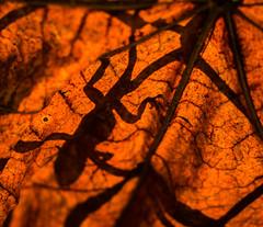 gecko (risaclics) Tags: 50mm18macro florida gecko leaves naturallight nikond610 november2016 autumn backlit fauna flora nature neighorhood shadows silouhette backlitcloseup smileonsaturday lookingcloseonfriday backlight retroiluminadas