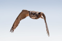 Spotted. (Marcus Legg) Tags: marcuslegg bird owl sky flight zoo zoology flighing wings feathers canon eos 1dmarkiv canonef100400mmf4556lisiiusm