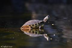 Tartaruga d'acqua _006 (Rolando CRINITI) Tags: tartarugadacqua tartaruga arenzano natura