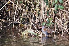 177A2493 (gipukan (rob gipman)) Tags: waterral rallusaquaticus 5d4 5dmarkiv canon100400lis lepelaarsplassen almere netherlands waterbird