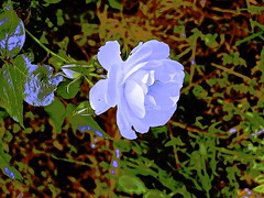 White Rose of Bulla. (maginoz1) Tags: rose flowers flora abstract art manipulate curves bulla melbourne victoria australia spring november 2016 canon g16 g3x