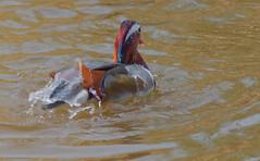Mandariremolladaesquena (Albert Ferr (Artbel )) Tags: anec duck pato canard mandar mandarn mandarinaduck anecmandar patomandarn pentaxk3 pentaxda55300 elcavet