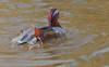 Mandariremolladaesquena (Albert Ferré (Artbel )) Tags: anec duck pato canard mandarí mandarín mandarinaduck anecmandarí patomandarín pentaxk3 pentaxda55300 elcavet