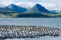 Canal Beagle (Voyages Lambert) Tags: peopletraveling animalthemes ushuaia southpole flirting channel beaglechannel tierradelfuego cormorant beagle latinamericanculture antarctica latinamericanandhispanicethnicity coldtemperature journey elegance south wildlife nature emotion patagoniaargentina argentina southamerica theamericas uncultivated animalsinthewild sealion sealanimal seagull seabird bird animal rockobject mountainrange mountain sea snow water fireland