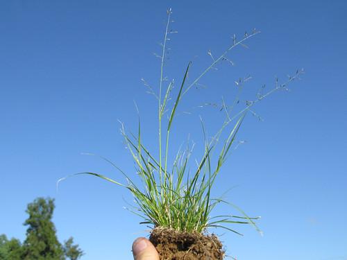 Eragrostis alveiformis plant6 NWS