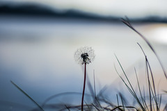 Make a Wish (marionrosengarten) Tags: dandelion wish blow lake sun light nikon tamron tamron90mmf28macrodivcusd bokeh shallowdof blue water grass bladeofgrass horizon wishescometrue pusteblume makeawish macro minimalism
