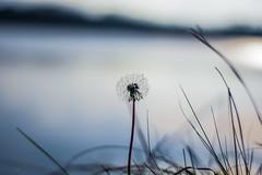 Make a Wish (marionrosengarten) Tags: dandelion wish blow lake sun light nikon tamron tamron90mmf28macrodivcusd bokeh shallowdof blue water grass bladeofgrass horizon wishescometrue pusteblume makeawish macro minimalism