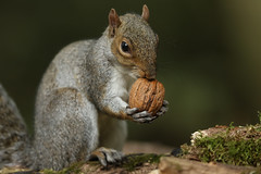 A walnut with a grey Squirrel attached. (Sandra Standbridge.) Tags: greysquirrel animal mammal nature outdoor walnut wildandfree wild wildlife