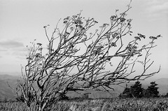 (jbrighamphotography) Tags: nikonf photomic ftn nikon nikkor kodak trix blackandwhite filmphotography naturephotography roanmountain tennessee autumn 400tx