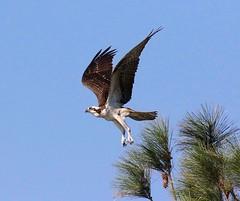 Osprey Lift-off (Variegated Vibes) Tags: raptor osprey seahawk fishhawk