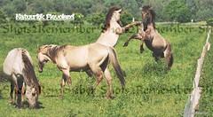 A wonderful experience # Watching and photographing the Konik horses # Oostvaardersplassen Almere / Een prachtige ervaring # Spotten en fotograferen van de Konikpaarden # Oostvaardersplassen Almere (Shots2Remember) Tags: shotsofmarion shots2remember flickr nikon horse horses paard paarden konikpaard equusferuscaballus kuddedier natuur nature wildernis wildlife thiere dier animal almere flevoland oostvaardersplassen natuurgebied naturereserve oostvaardersplassenflevoland natuurinflevoland merrie hengst