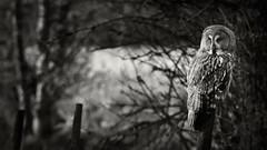 _IGP1480-copy2_web (Erik Koffmar) Tags: green blackwhite bw owl greatgreyowl grey hunter avain avian bird birds birdofprey koffmar uppsala sweden norby