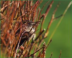 PB223232 e1 MF fr (David Geddes1) Tags: sparrow house male adult plumage winter salix