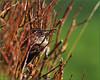 PB223232 e1 MF fr (David W Geddes) Tags: sparrow house male adult plumage winter salix