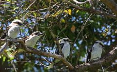 The Burra's (HPVD Photos) Tags: kookaburra kingspark perth birds canon 1640s f8 iso800 fl349mm