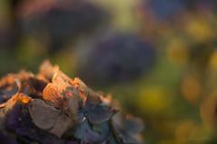 Hortensia Improv 5 (shawnraisin d+p) Tags: 50mm macro plant shawnwhite autumn blue bokeh colours dream dreamy floral flower fun gold green hortensia hydrangea mood party playful purple sumptuous