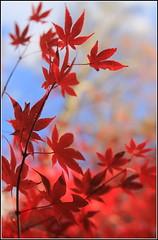 Japanese Maple (GR167) Tags: autumn fall lensbaby canon5dmarklll bokeh