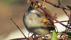 White Throated Sparrow (Sunsades) Tags: whitethroatedsparrow doublerockpark parkville maryland baltimorecounty canon sx50