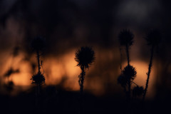 Teasels (Explored) (Steve.T.) Tags: wildflowers nature dusk sunset evening winter whetmead witham bokeh natural nikon d7200 silhouette shadow sigma18200