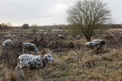Herd of sheep grazing in the Broekpolder (jmtennapel) Tags: vlaardingen zuidholland netherlandsthe nl broekpolder middendelfland autumn herfst iphoto natuur natuurgebied recreatiegebied schapen sheep galiumaparine kleefkruid klitkruid bur kudde herd