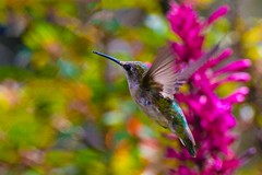 The Magical World of a Hummingbird (BobHartmannPhotography) Tags: southwestranches b wwwbobhartmanncom h bobhartmannphotography natureportfolio bobhartmanncom hummingbird bobhartmann c2016bobhartmann