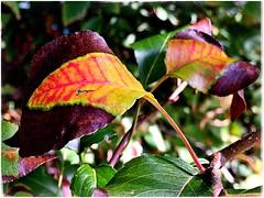 (Ruth Nicholas) Tags: fallleaves burgundy red yellow depthoffield strikingcolors brightpatterns