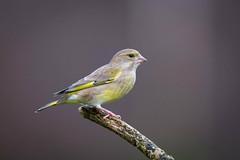 Verdier faon Studio (Jacques GUILLE) Tags: 09 arige carduelischloris domainedesoiseaux europeangreenfinch fringillids mazres passriformes verdierdeurope bird oiseau