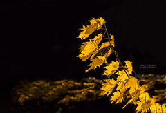 Anyway the wind blows (Photography by Julia Martin) Tags: photographybyjuliamartin 4952 goldenlight goldenleaves backlit