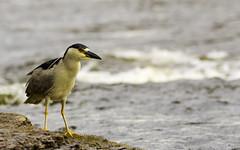 Bihoreau gris (yveshebert) Tags: birds bihoreau oiseaux oiseauxduquébec outaouais ottawariver gatineau biheron
