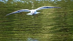 Gull over Lake (fstop186) Tags: gull flying lake wingspan wild olympus em1 lumix panasonic 100400mmf456megaois