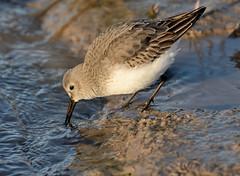Dunlin (Severnrover) Tags: wading bird wader winter migrant visitor uk