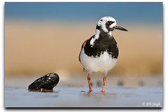Ruddy Turnstone (BN Singh) Tags: new wild usa bird beach nature highlands sandy nj jersey hook nrs arenaria turnstone ruddy interpres