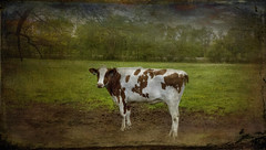 The Lonely Cow (jta1950) Tags: texture field animal rural countryside cow milk farm country farming pasture dairy lx5 lenabemanna dnclx5