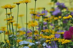 C'est l't ~ It's summer (Michele*mp) Tags: flowers france colors fleurs grenoble geotagged europe colours couleurs t meylan isre rhnealpes dauphin michelemp parcdubachais geo:lat=4521235959563759 geo:lon=5780138969421387