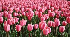 Silence of Pinks (NATIONAL SUGRAPHIC) Tags: pink flowers nature spring tulips iekler zeytinburnu doa ilkbahar pembe yedikule laleler sugraphic