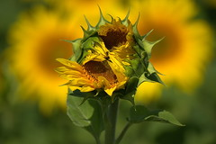 Explosion (Harald52) Tags: natur pflanze gelb grn blte sonne sonnenblume