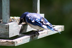 Blue Jay_8649 (Bobolink) Tags: ontario stirling bluejay