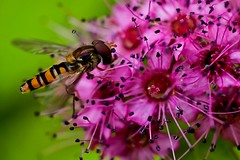 Spiraea - Magic Carpet, with a hover-fly (Paul Sibley) Tags: flower insect ngc nikond60