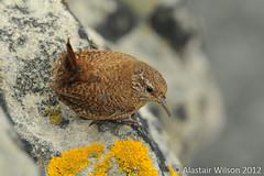 shetland wren (sax_man_al) Tags: brown bird nature yellow rock grey natural wildlife small feather places lichen wren geology shetland troglodytestroglodyteszetlandicus