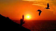 Watching the sunset (a_.-ale-._) Tags: ocean chile sunset sea sun black bird sol sunshine birds yellow atardecer evening mar twilight tramonto sonnenuntergang negro ale aves pjaros amarillo prdosol ave puestadesol ocaso  sombras aale pjaro afterglow coucherdusoleil ocano auringonlasku   quisco quiscos canonpowershota495