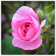 A Saturday Rose (Eleanor (No multiple invites please)) Tags: uk pink texture rose bushey herts nikond3200 85mmmacrolens august2013 busheyrosegarden magicvignette