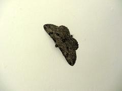 Moth (Bricheno) Tags: island scotland clyde moth escocia brodick arran isleofarran szkocja schottland scozia cosse firthofclyde  esccia  scotlandinminiature  bricheno scoia