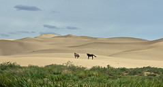 horses on the dunes at khongoriin Els 2 (Russell Scott Images) Tags: mongolia gobi horse khongoriinels russellscottimages