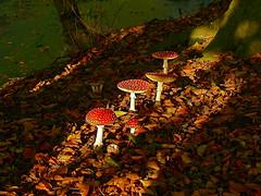 Vliegenzwammen in Engelgaarde / Fly agarics in Engelgaarde (Angelgarden?) (andzwe) Tags: autumn light shadow copyright sun tree green mushroom water netherlands dutch closeup mushrooms licht © herfst nederland leafs schaduw beams drente drenthe zonlicht dutchlandscape flyagaric paddenstoelen bladeren blijdenstein vliegenzwammen panasoniclumixdmcfz50 andzwe ©andzwe engelgaarde lichtbundel