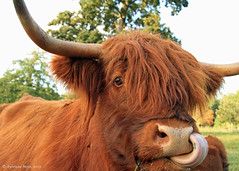I can stick my tongue up my nose. I am better than you. (Sylviane Moss) Tags: uk tongue canon scotland cow cattle 7d highlandcattle kyloe glamiscastle