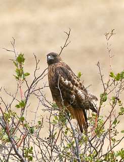 Red-tailed Hawk Eyeing Camerman