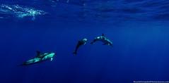 Golfinhos-comuns ( Delphinus delphis) (RicardoFernandes89) Tags: mar natureza dolphins whales whalewatching aores faial golfinhos cetaceans baleias cetceos hortacetaceos
