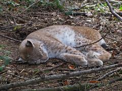 A young Eurasian lynx, having an afternoon nap (aniko e) Tags: wild forest cat germany bavaria feline wildlife diversity lynx wildpark felidae felinae eurasianlynx lynxlynx