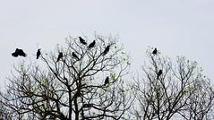 crows, branches and some green leaves ([s e l v i n]) Tags: india abstract green leaves fly scary branches flight eerie maharashtra crows twigs ravens igatpuri railwaydam selvin